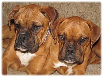 Boxer Dog for adoption in Santa Monica, California - Razzle & Dazzle