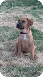 Labrador Retriever/Shepherd (Unknown Type) Mix Puppy for adoption in Marlton, New Jersey - Baby Cooper