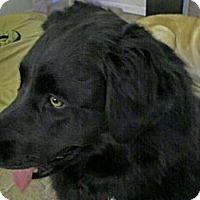 Adopt A Pet :: Sierra - Denver, CO