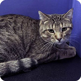 Domestic Shorthair Cat for adoption in Verdun, Quebec - Tobie