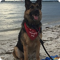 German Shepherd Dog Dog for adoption in Palmetto Bay, Florida - toby