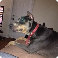 Adopt A Pet :: Blue - Arlington, VA