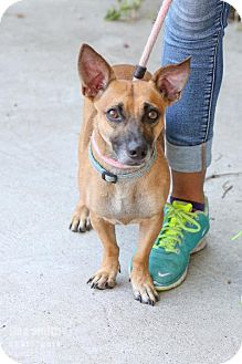 Manchester Terrier/Dachshund Mix Dog for adoption in Plano, Texas - Petey