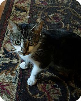 Domestic Shorthair Cat for adoption in Dewitt, Michigan - Serena