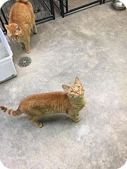 Domestic Shorthair Cat for adoption in Bryan, Ohio - Carrott