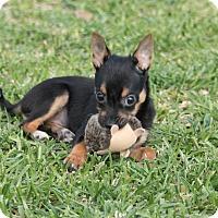 Adopt A Pet :: Rose - La Habra Heights, CA