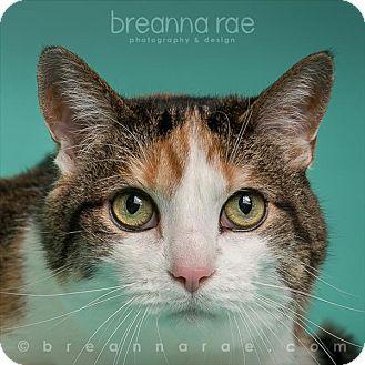 Domestic Shorthair Cat for adoption in Sheboygan, Wisconsin - Muffin