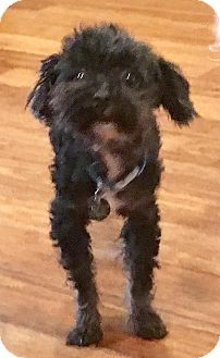 Poodle (Toy or Tea Cup) Dog for adoption in Atlanta, Georgia - Frannie