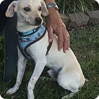 Adopt A Pet :: Nemo - Garland, TX