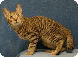 Manx Cat for adoption in Sacramento, California - Tiger