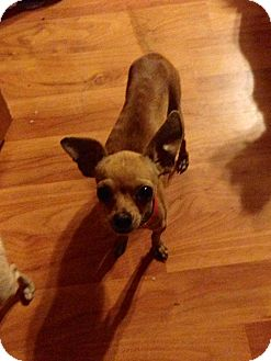 Chihuahua Dog for adoption in Rancho Cucamonga, California - Lalo