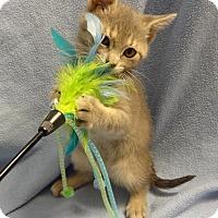 Adopt A Pet :: Yoka - Bentonville, AR