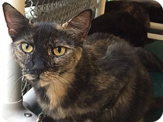 Domestic Shorthair Cat for adoption in Chambersburg, Pennsylvania - Secret