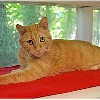 Domestic Shorthair Cat for adoption in Huntington, New York - Cheddar