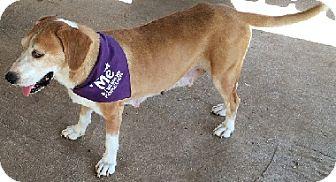 Labrador Retriever Mix Dog for adoption in Austin, Texas - Nora