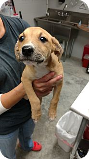 Labrador Retriever Mix Puppy for adoption in Paducah, Kentucky - Katrina