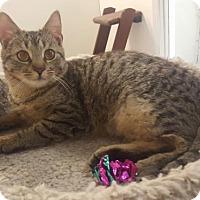 Adopt A Pet :: Caine - Pendleton, NY