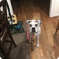 Adopt A Pet :: Lizziebelle - Austin, TX
