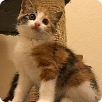 Adopt A Pet :: Chloe the loving Calico - Oviedo, FL