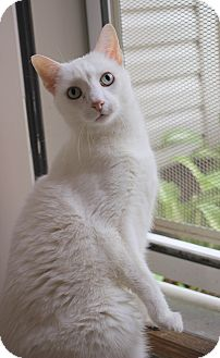 Domestic Shorthair Cat for adoption in Carlisle, Pennsylvania - Marshmallow