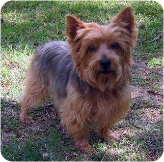 Yorkie, Yorkshire Terrier Dog for adoption in Conroe, Texas - Shorty