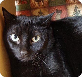 Domestic Shorthair Cat for adoption in Albany, New York - Leroy