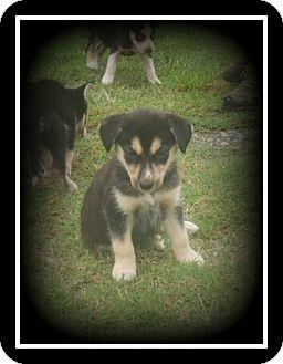 Alaskan Malamute/Siberian Husky Mix Puppy for adoption in Indian Trail, North Carolina - Macy