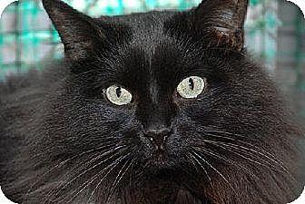 Domestic Longhair Cat for adoption in Seal Beach, California - Hana