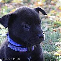 Adopt A Pet :: Blackbird - Broomfield, CO