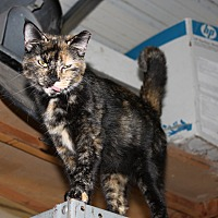 Adopt A Pet :: Torti Momma - Morriston, FL