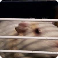 Guinea Pig for adoption in Simcoe, Ontario - Gitasha