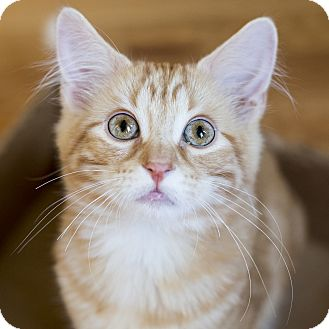 Domestic Mediumhair Kitten for adoption in Chicago, Illinois - Chibi