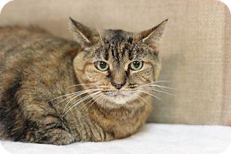 Domestic Shorthair Cat for adoption in Midland, Michigan - Milky Way - NO FEE