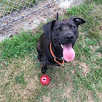 Labrador Retriever/Pit Bull Terrier Mix Puppy for adoption in Salem, Ohio - Sasha