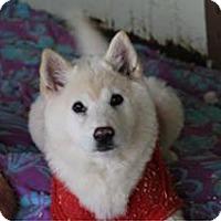 Adopt A Pet :: Butter - Stunning Jindo Youngin! - Seattle, WA