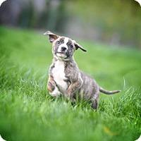 Adopt A Pet :: Mandela - New York, NY