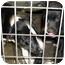 Photo 3 - Border Collie Mix Puppy for adoption in Jacksonville, Florida - Destiny
