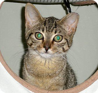 Domestic Shorthair Cat for adoption in Troy, Michigan - Akela