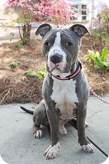 American Pit Bull Terrier Mix Dog for adoption in Snellville, Georgia - Bruster
