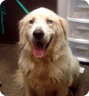 Great Pyrenees Mix Dog for adoption in Greencastle, North Carolina - Baxter