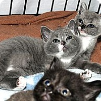 Adopt A Pet :: Squeakie 1 - Plainville, MA