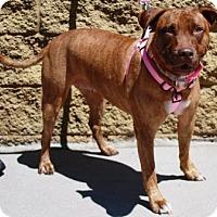 Adopt A Pet :: Brandy - Gilbert, AZ
