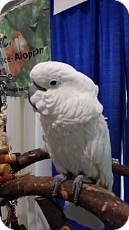 Cockatoo for adoption in Lenexa, Kansas - Lazarus