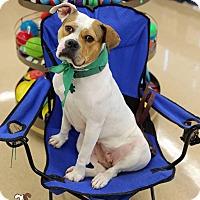 Adopt A Pet :: Scarlett - Alpharetta, GA