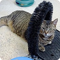 Domestic Shorthair Cat for adoption in Belleville, Michigan - Bombay