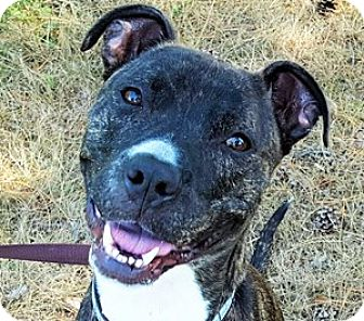 American Pit Bull Terrier Mix Dog for adoption in Fulton, Missouri - Baxter - Massachusetts