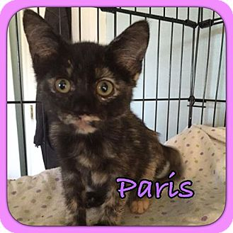 Domestic Shorthair Cat for adoption in Enid, Oklahoma - Paris