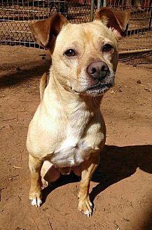 Shiba Inu/Chihuahua Mix Dog for adoption in Lawrenceville, Georgia - Kodiak