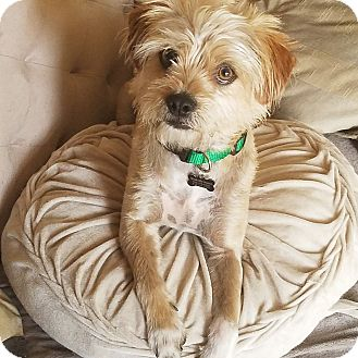 Terrier (Unknown Type, Medium) Mix Dog for adoption in Monrovia, California - Buster