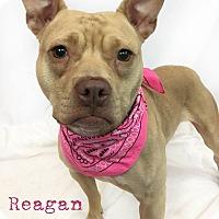 Adopt A Pet :: Reagan - Toledo, OH